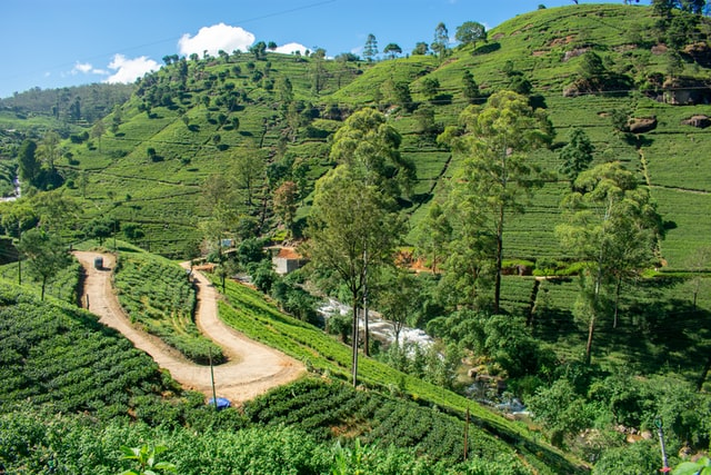 Tea Garden Road, Sri Lanka